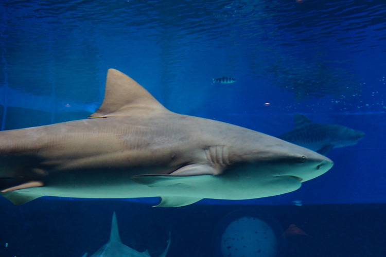bull shark facts
