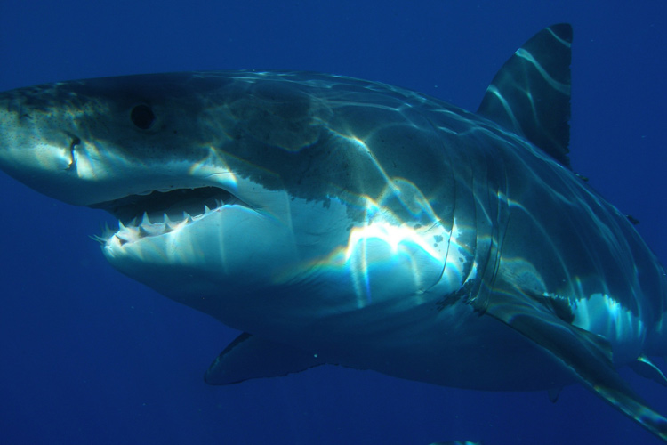great whte shark facts