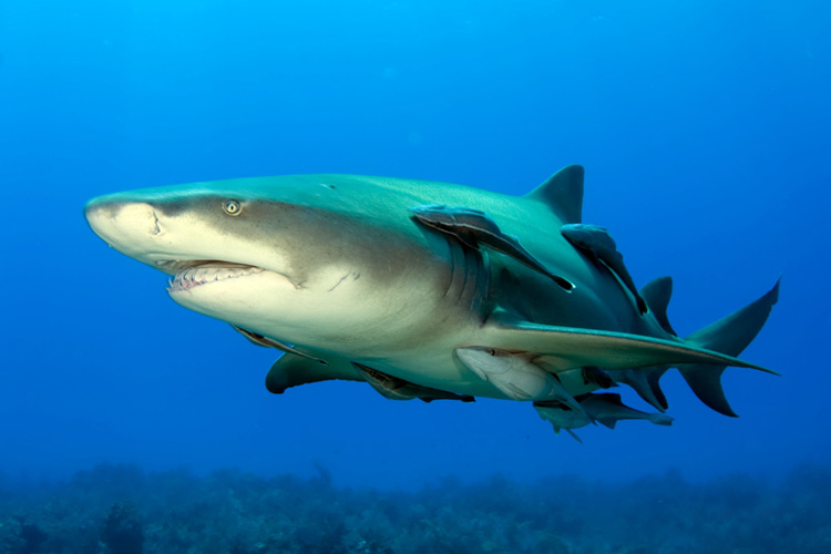lemon shark facts