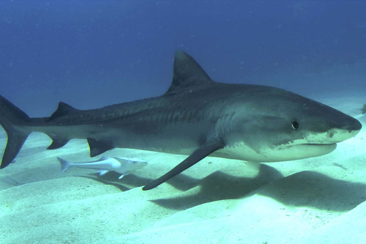 tiger shark facts