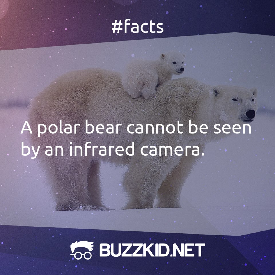 polar bear cannot be seen by infrared camera