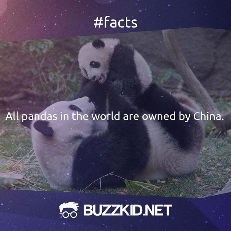 All pandas are owned by China