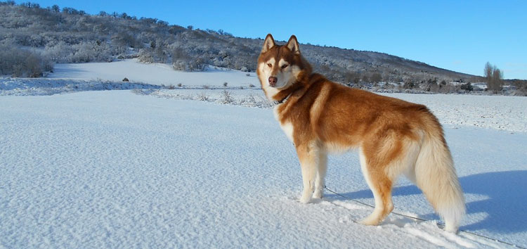 Siberian Huskies Facts
