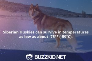 Siberian Huskies can survive in temperatures as low as about -75°F (-59°C).